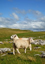 Malham sheep Stock Photos