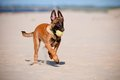 Malinois belgian sheperd puppy with a ball Stock Photos