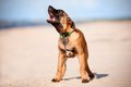 Malinois belgian sheperd puppy barking Royalty Free Stock Images