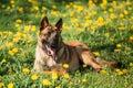 Malinois Belgian Shepherd Dog Resting In Green Grass Royalty Free Stock Photo