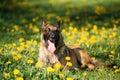 Malinois Belgian Shepherd Dog Sitting In Green Grass Royalty Free Stock Photo