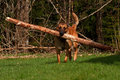 Malinois belgian shepherd running with a large log in the mouth Royalty Free Stock Images