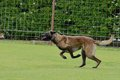 Malinois belgian shepherd working test in a canine center in spain Royalty Free Stock Image