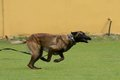 Malinois belgian shepherd working test in a canine center in spain Stock Photo