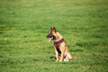 Malinois Dog Sit Outdoors In Green Summer Grass At Training. Cop Royalty Free Stock Photo