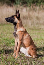 Malinois`s pyppy Royalty Free Stock Images