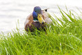 Mallard anas platyrhynchos male or wild duck in the grass Royalty Free Stock Photos
