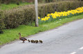 Mallard anas platyrhynchos young crossing road female leading her ducklings across a in a village towards a hedge behind which is Stock Photo