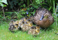 Mallard anas platyrhynchos with young ducklings proud female duck guards her at the edge of a lawn in early spring in the united Royalty Free Stock Image