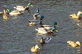 Mallard anse platyrhynchos duck inhabiting urban ponds Stock Photo