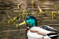 Mallard drake in the afternoon sun Royalty Free Stock Images
