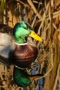 Mallard Drake Duck Royalty Free Stock Photo
