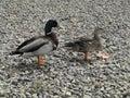 Mallard drake duck a and walk through the rocks Stock Photography