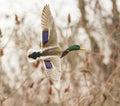 Mallard drake in flight colorful Royalty Free Stock Photos