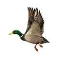 Mallard Drake In Flight, Royalty Free Stock Photo