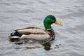 Mallard drake swimming wild male in lake Stock Photos