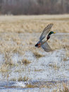 Mallard Drake taking to flight Stock Image