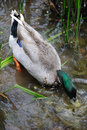 Mallard drinking water on a river Stock Images