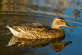 The mallard duck adult on leeds liverpool canal Royalty Free Stock Photography