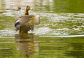 Mallard duck, Anas platyrhynchos Stock Photos