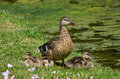 Mallard duck anas platyrhynchos and ducklings protective female three by the lake Royalty Free Stock Image