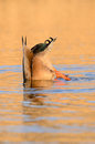 Mallard duck anas platyrhynchos a male diving in the water during sunset Royalty Free Stock Photos