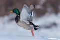 Mallard duck anas platyrhynchos male flying from the snow Royalty Free Stock Photos