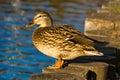 Mallard duck (Anas platyrhynchus) Stock Photos