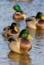Mallard duck (Anas platyrhynchus) Stock Photo