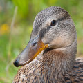 Mallard duck close up of Royalty Free Stock Image