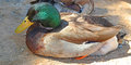 Mallard duck a close up detailed look at a resting on a sandy beach Stock Image