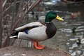 Mallard Duck. Closeup of a drake, standing in the Royalty Free Stock Photo