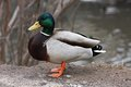 Mallard Duck. Closeup of a drake, standing in the Royalty Free Stock Photography