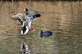 Mallard Duck Coming in for a Landing on the Water Royalty Free Stock Photo