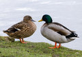 Mallard duck couple wild anas platyrhynchos resting together on the edge of water Stock Photography