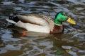 Mallard Duck Drake Royalty Free Stock Photo