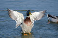 Mallard Duck Drake Spreads Wings in Mating Display Royalty Free Stock Photo