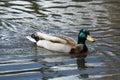 Mallard duck drake swimming in lake Stock Photography