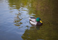 Mallard duck drake swimming on pond Stock Photos
