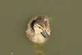 Mallard duck duckling lone swimming on lake Royalty Free Stock Images