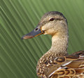 Mallard Duck Female Royalty Free Stock Photography