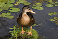 Mallard Duck, female, beautiful pose Royalty Free Stock Photo
