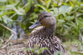 Mallard duck female closeup in the wild Royalty Free Stock Images