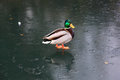 Mallard duck on a frozen lake