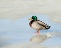 Mallard duck a on the ice Royalty Free Stock Photography