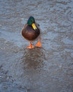 Mallard duck on ice in winter Royalty Free Stock Photos