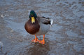 Mallard duck on ice in winter Stock Photography