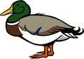 Mallard Duck Royalty Free Stock Photo