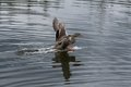 Mallard Duck Landing on Water Royalty Free Stock Photo