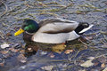 Mallard duck a looking for food in big bear lake california Royalty Free Stock Photo